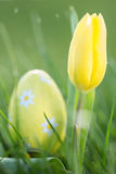 Yellow tulip growing with easter egg Stock Images