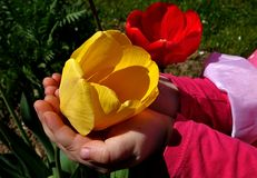 Yellow tulip held in small girl palms, red tulip in background. Royalty Free Stock Photos