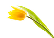 Yellow tulip isolate Royalty Free Stock Image