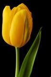 Yellow tulip isolated Stock Photography