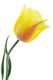 Yellow tulip isolated Stock Image