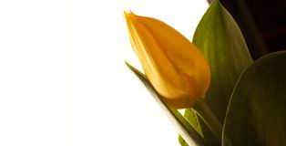 Yellow tulip isolated on white. Picture of a Yellow tulip isolated on white Royalty Free Stock Photography