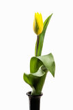 Yellow tulip isolated on white background Stock Images