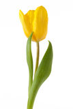 Yellow tulip isolated on white background Stock Photography