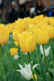 Yellow Tulip in Italy garden Stock Photos