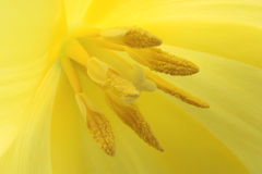 Yellow tulip macro Stock Photos