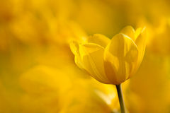Yellow Tulip with nice light yellow background Royalty Free Stock Photos