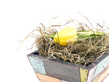 Yellow tulip in old flowerpot Stock Image