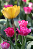 Yellow tulip out of focus among pink tulips stock photography