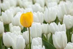 Yellow tulip over a white tulips in the garden Stock Photo