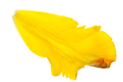 Free Yellow Tulip Petals Royalty Free Stock Photo - 10386695