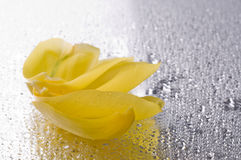 Yellow tulip petals lying on wet grey surface Royalty Free Stock Photography