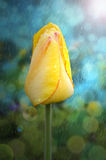 Yellow tulip with raindrops on petals. Yellow Tulip with rain drops on the petals at dawn of day Stock Photos