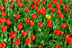 Yellow tulip among the red. Yellow tulip among many other red tulips Stock Images