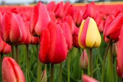 Yellow tulip between the red ones. A picture from the amazing tulip fields in Netherlands during the cloudy, rainy spring day. The colorful flowers are Stock Photography