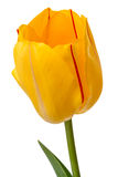 Yellow tulip with red stripe Royalty Free Stock Photos