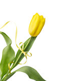 Yellow tulip with ribbon. Yellow tulip flower with yellow ribbon isolated on white background Stock Images
