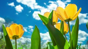 Yellow and red tulip. Yellow tulip rising above field of colorful tulips stock video