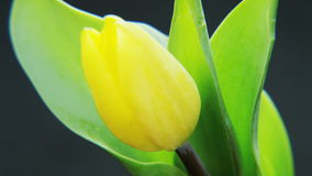 Yellow Tulip Rotating stock video footage