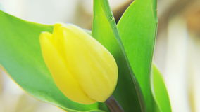 Yellow Tulip Rotating on a Golden Background stock video footage