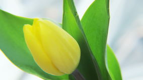 Yellow Tulip Rotating on a Silvery Background stock video