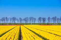 Yellow tulip rows with sky horizon and trees Stock Photo