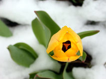 Yellow Tulip in Snow. Lovely photo of the top of a yellow tulip with snow around Royalty Free Stock Images