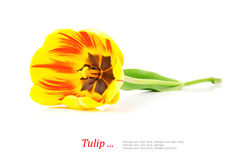 Yellow tulip Royalty Free Stock Photos