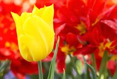 Yellow tulip in spring time Royalty Free Stock Photo