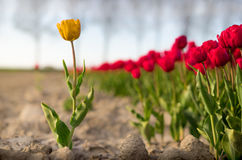 A yellow tulip standing outside a field of red tulips royalty free stock images