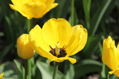 The yellow tulip stock photography