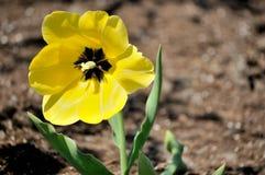 Yellow Tulip royalty free stock photography