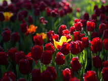 Yellow Tulip surrounded with red Tulips. With natural sun light Royalty Free Stock Photos