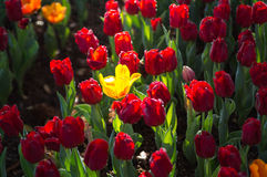Yellow Tulip surrounded with red Tulips. With natural sun light Stock Images