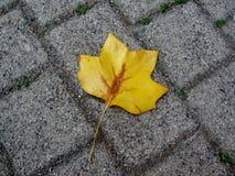 Yellow tulip tree leaf Royalty Free Stock Photos