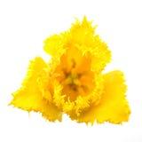 Yellow tulip. Yellow triangle shaped tulip on white isolated background Royalty Free Stock Image