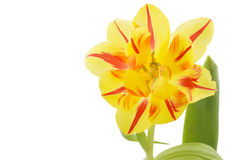 Yellow tulip (tulipa) with red stripes Stock Image