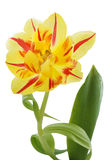 Yellow tulip (tulipa) with red stripes Royalty Free Stock Photo