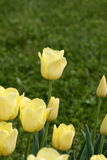 Yellow tulip Royalty Free Stock Photography