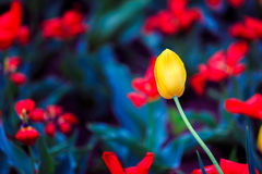 Yellow Tulip. S with red flower background Royalty Free Stock Images