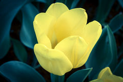 Yellow tulip in vintage light. Royalty Free Stock Photography