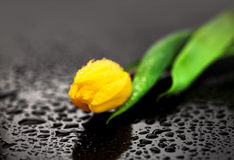 Yellow tulip with water drops Stock Photography