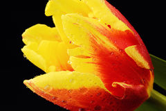 Yellow tulip with water drops on black background. Yellow tulip with water drops Royalty Free Stock Image