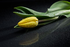 Yellow tulip and water drops on black background Stock Photography