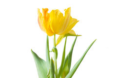 Yellow Tulip with white background.  Stock Photos