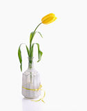 Yellow tulip in white bottle. With ribbon, still life  on white Royalty Free Stock Image