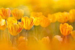 Free Yellow Tulip With Nice Light Yellow Background Royalty Free Stock Photos - 17549408