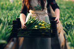 Yellow tulip in woman hands. Red white tulip field with bulbs in wooden box on human hands Stock Image