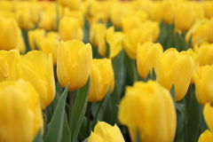 Yellow Tulipa Gesneriana in Garden. Natural pretty yellow Tulipa gesneriana in Garden with green leaf. This beautiful famous flower is easy to grow. It gives Stock Photography