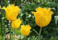 Exclusive yellow cultivated fringed and raffled tulips in reclaimed land, Flevoland, Netherlands. Fringed yellow Tulipa Hellas in close up along the tulip route Stock Photo